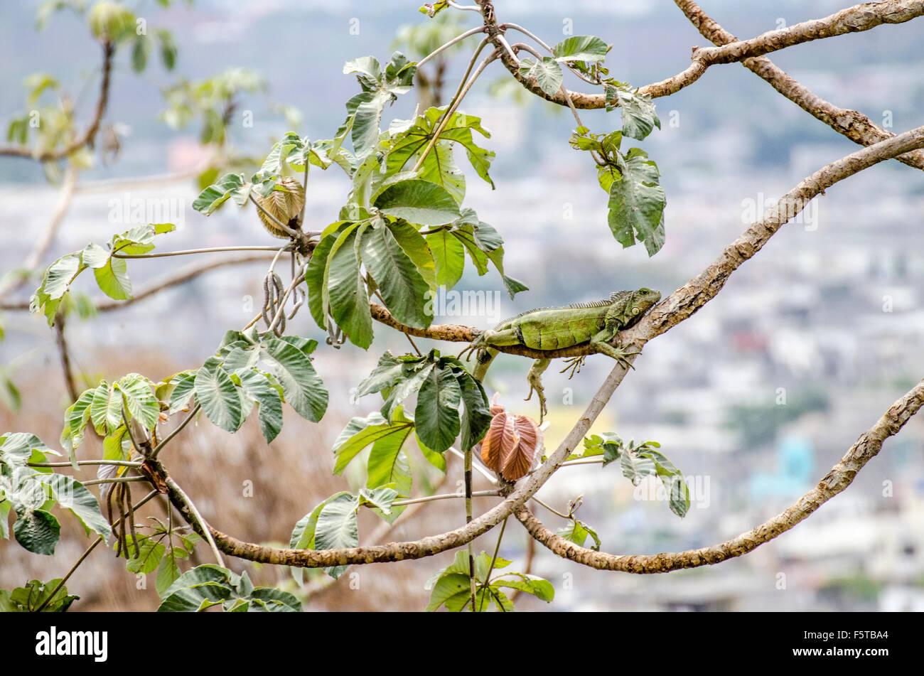 Un iguane vert (Iguana iguana) Banque D'Images
