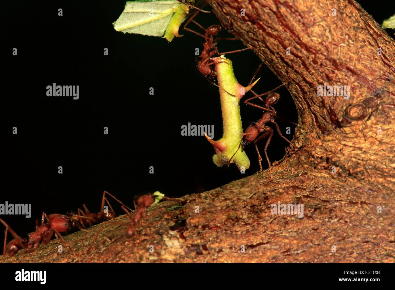 Les fourmis Atta sexdens (osmia lignaria) transportant des tiges épineuses, trouvés en Amérique centrale Photo Stock