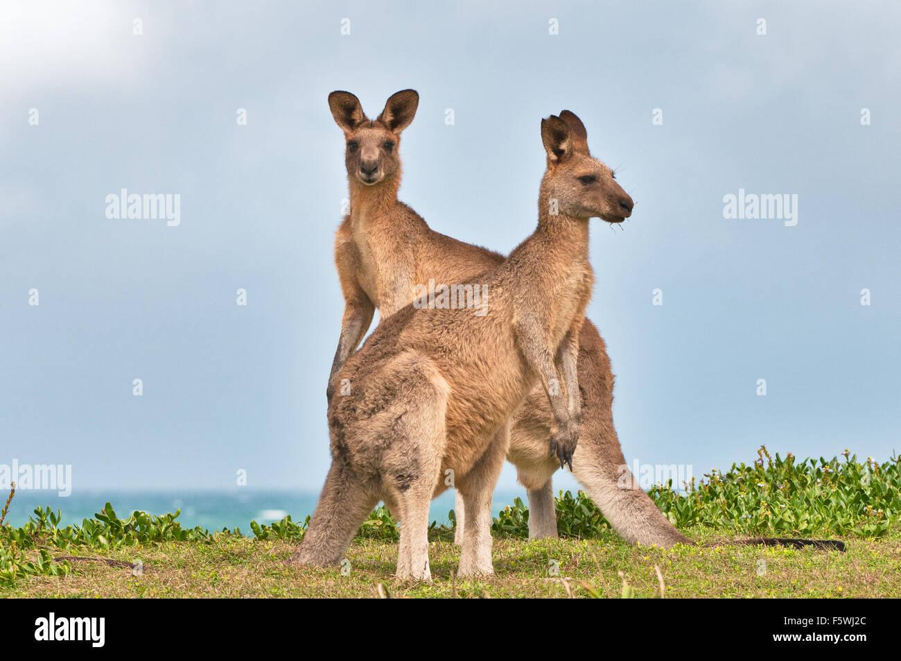 Les kangourous gris de l'Est de la bruyère côtière. Photo Stock