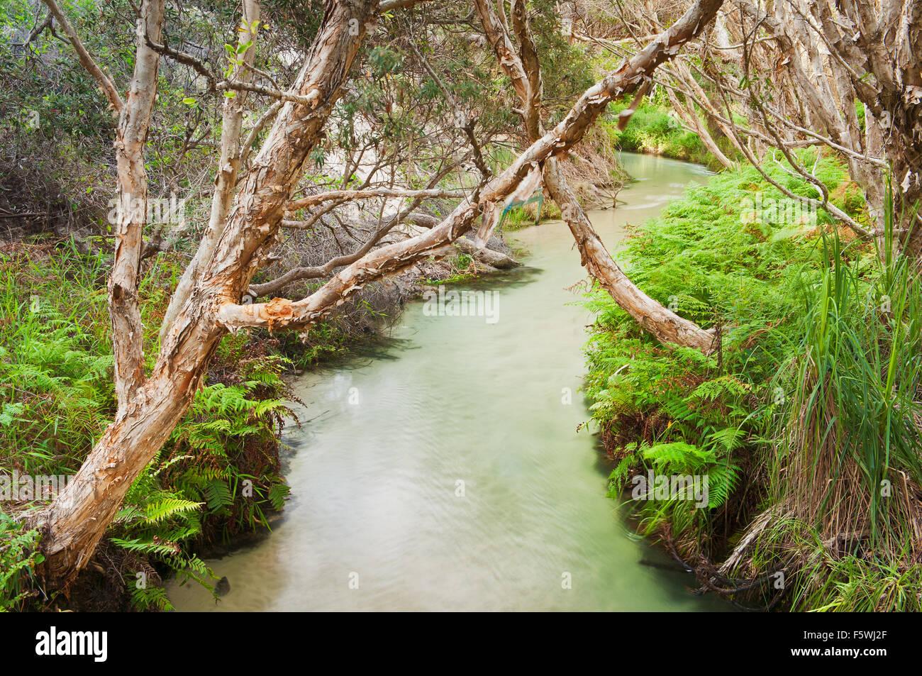 Plateau d'arbres sur Eli Creek une attraction sur l'île Fraser. Photo Stock