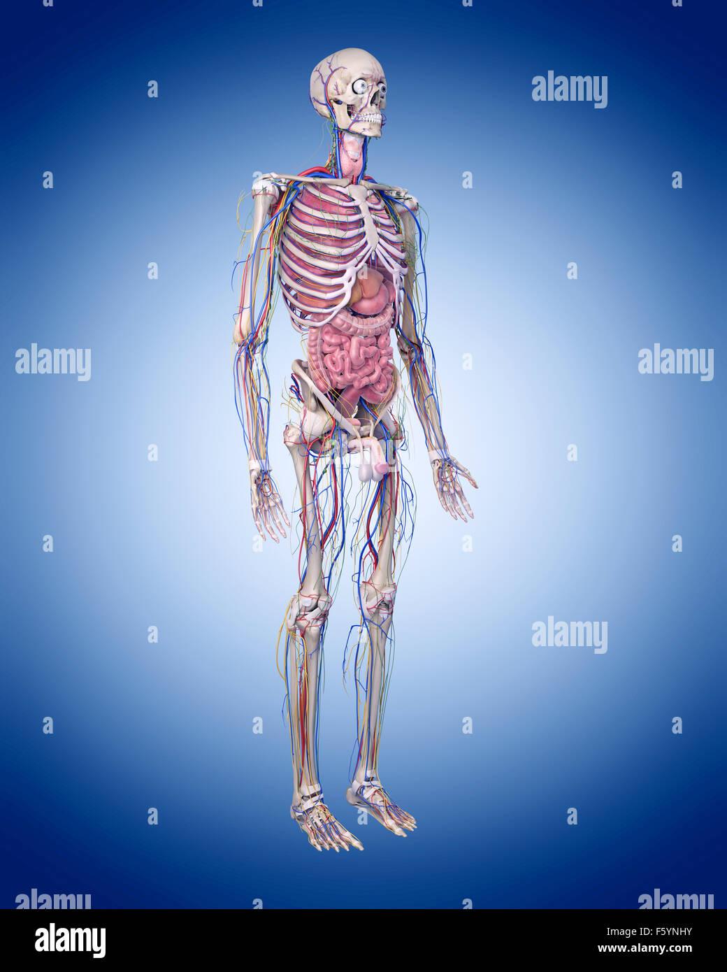 Illustration de l'exacte sur le plan médical l'anatomie humaine Banque D'Images