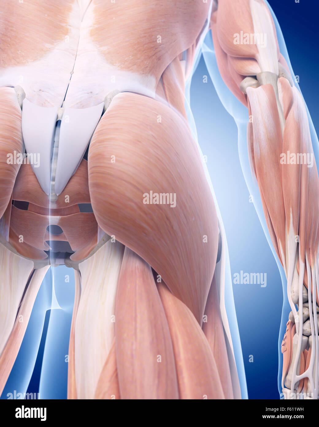 Illustration de l'exacte médicalement muscle grand fessier Photo Stock