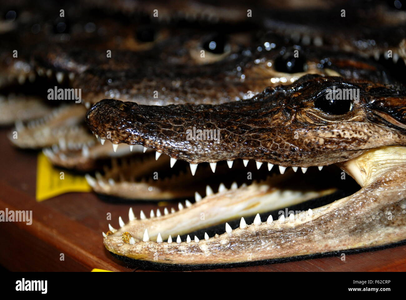 Bouche Alligator Photo Stock