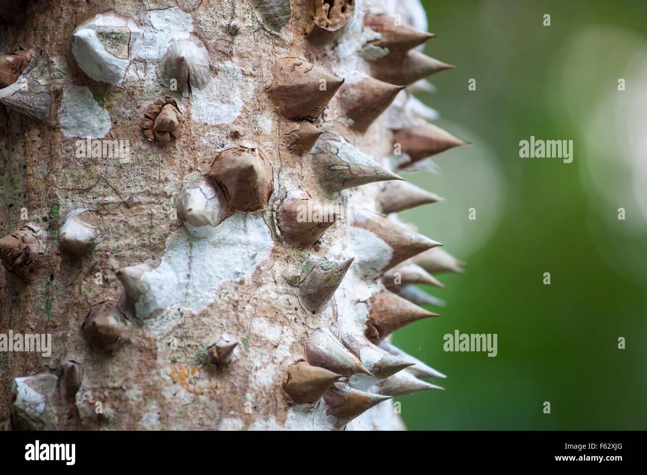 Gros plan de l'arbre ceiba épineux (ceiba chodatii) au Yucatan, Mexique. Photo Stock