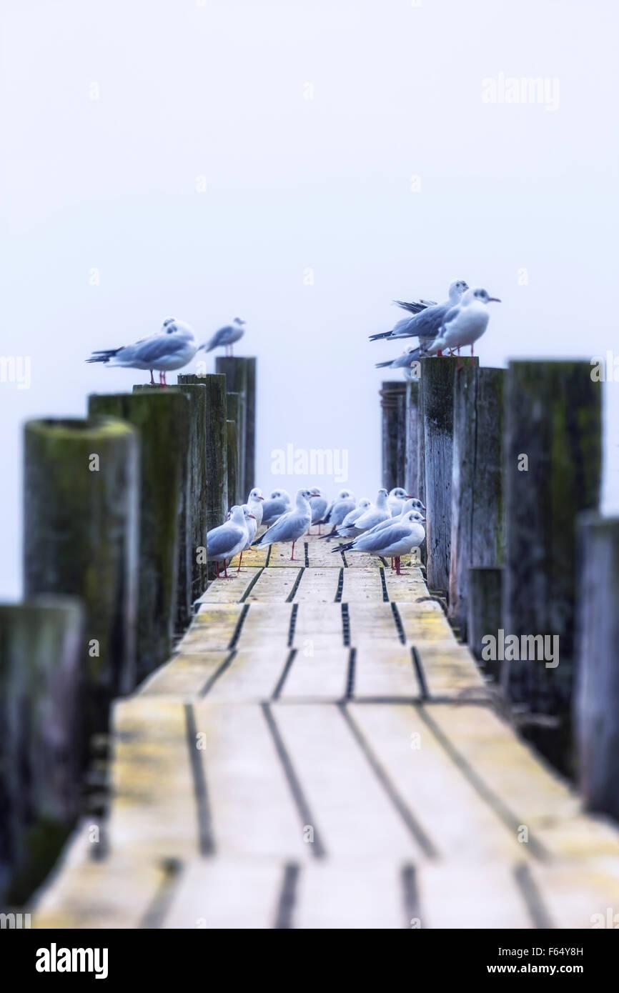 Mouettes sur une jetée en bois Photo Stock
