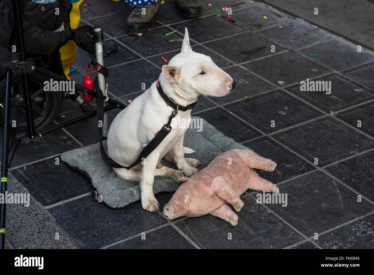 Bull Terrier Blanc jeune chien en laisse, à s'ennuyer, avec un cochon. Photo Stock
