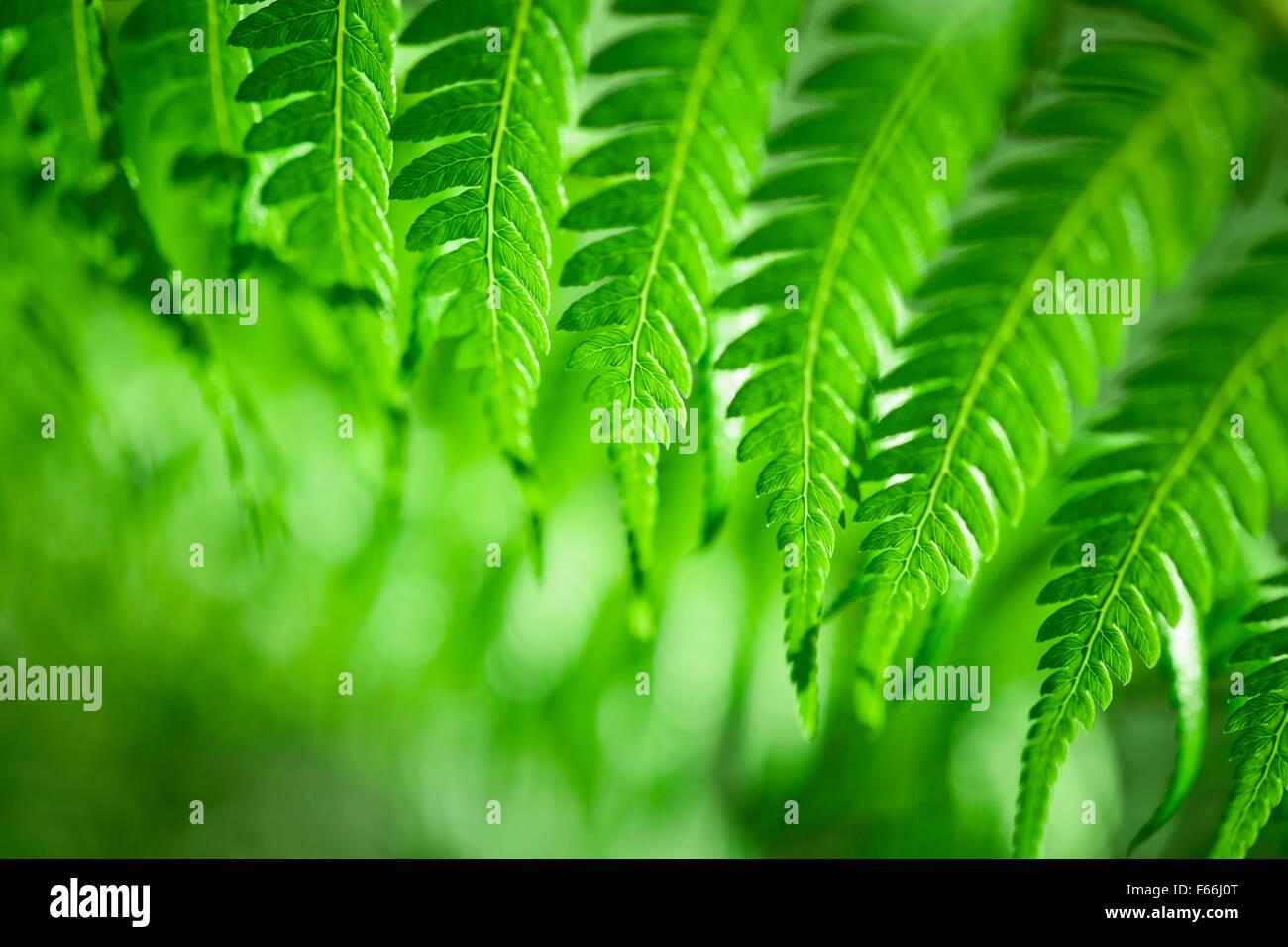 Frais Vert fougère de Nouvelle-Zélande d'artifices Photo Stock