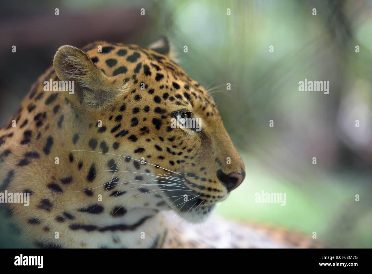 Demi-gros plan face Portrait de jaguar, faible profondeur de champ Photo Stock