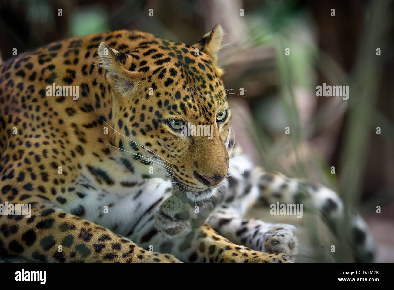 Jaguar femelle se reposer, closeup portrait Photo Stock
