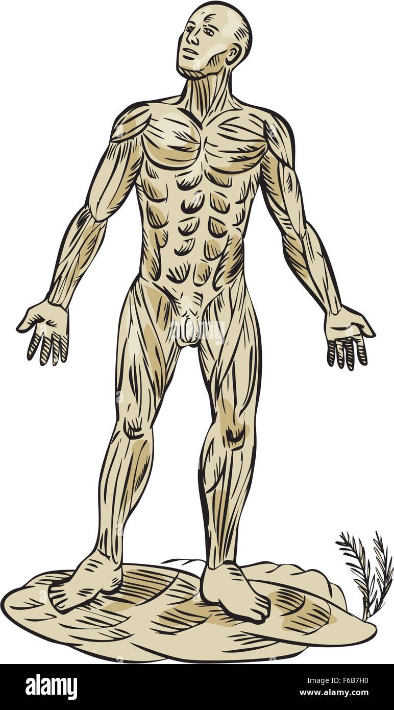Gravure Gravure illustration style artisanal sur l'anatomie du muscle humain montrant un homme vu de l'avant Photo Stock