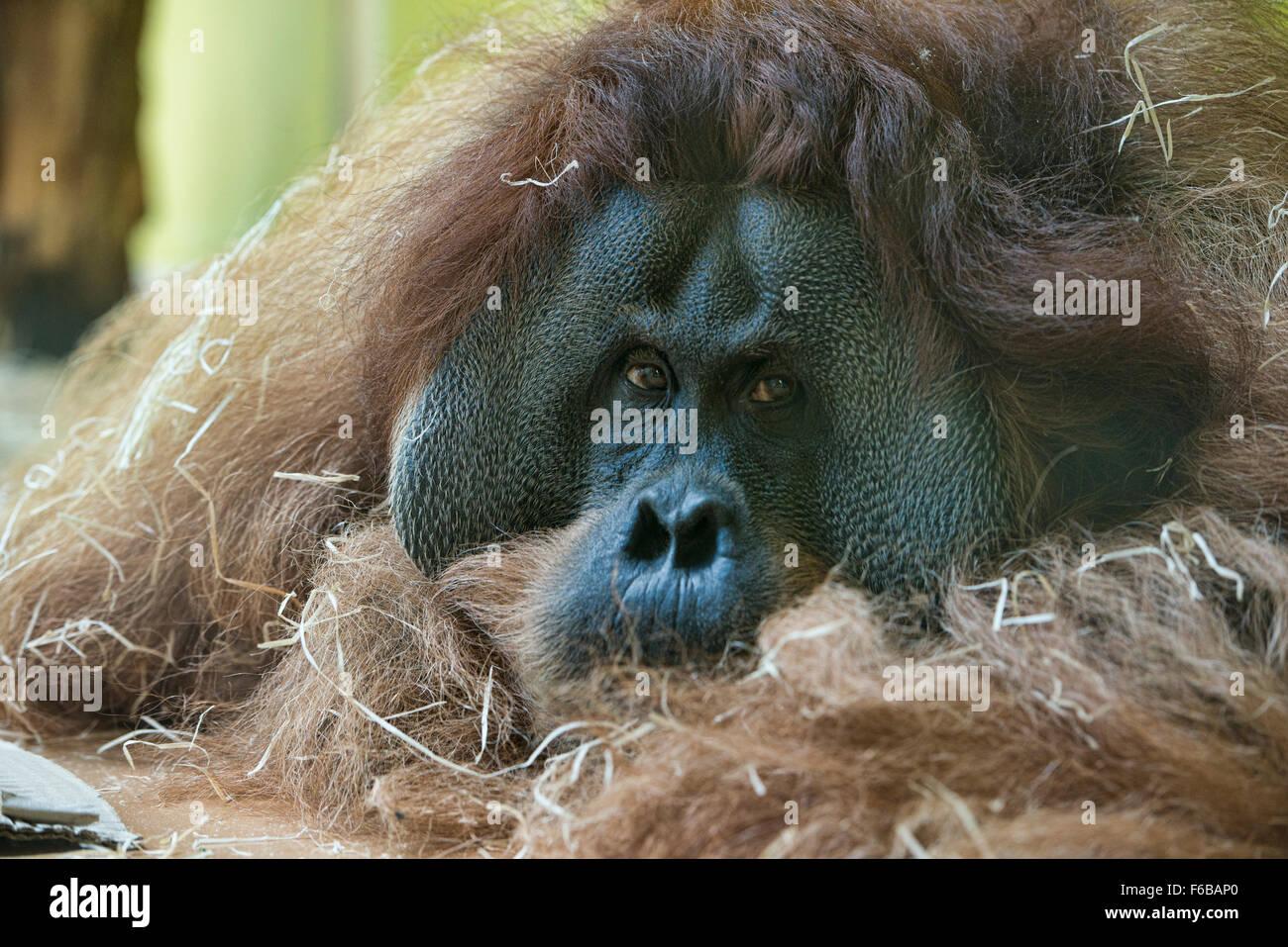 L'orang-outan de Sumatra (Pongo abelii) au repos Photo Stock