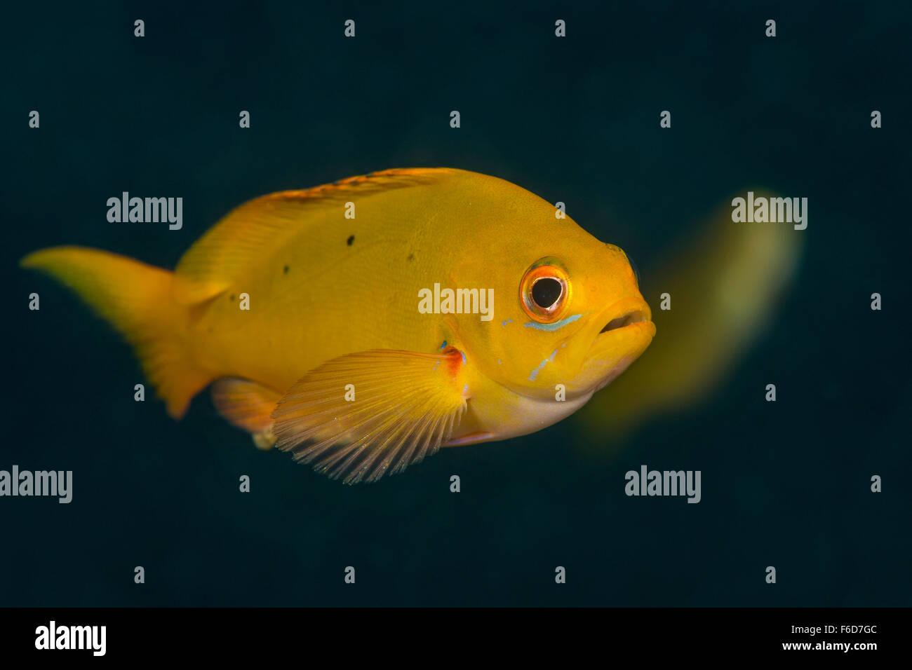 Creolefish du Pacifique juvéniles, Paranthias colonus, La Paz, Baja California Sur, Mexique Photo Stock