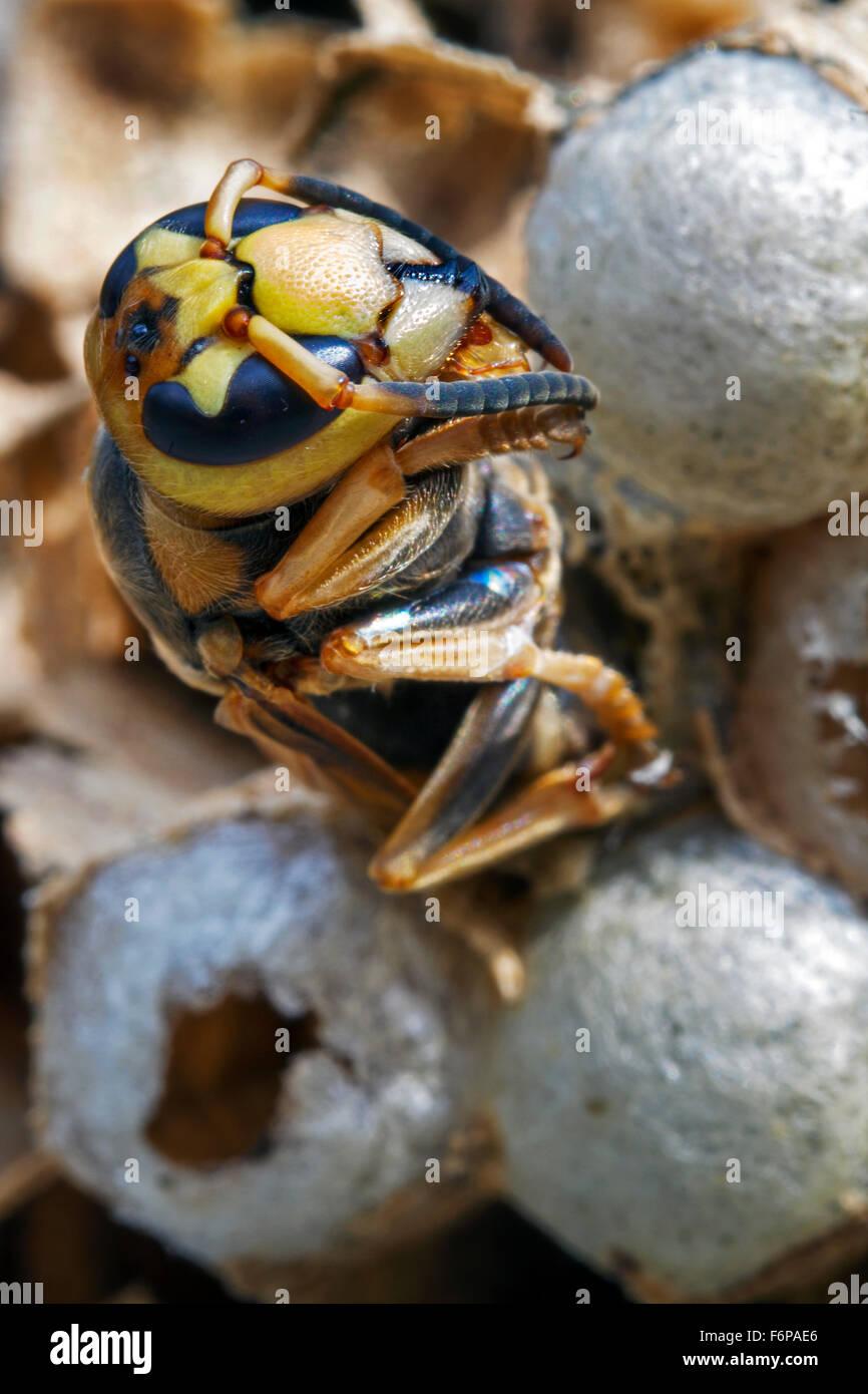 Frelon européen (Vespa crabro) émergeant de cellule de couvain dans nid de papier Photo Stock