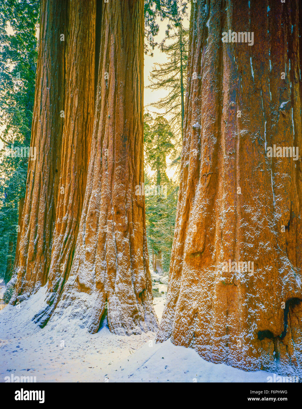 Sequoia images dans la neige, Sequoia National Park, Californie, la Sierra Nevada, plus gros arbres du monde Photo Stock