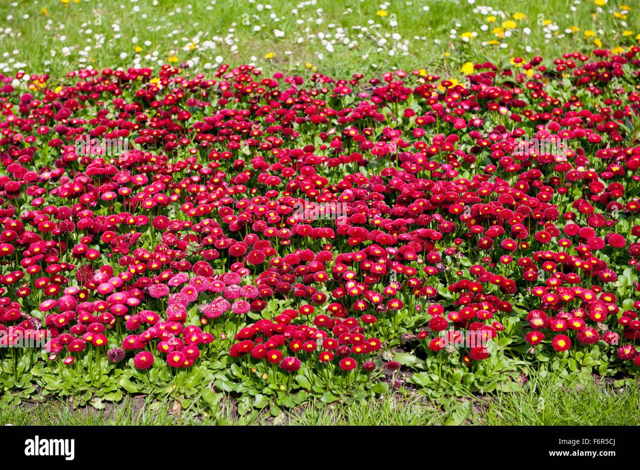 bellis perennis fleurs rouges les plantes vivaces de la
