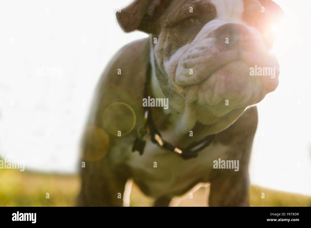 Close up of Olde English Bulldog puppy Banque D'Images