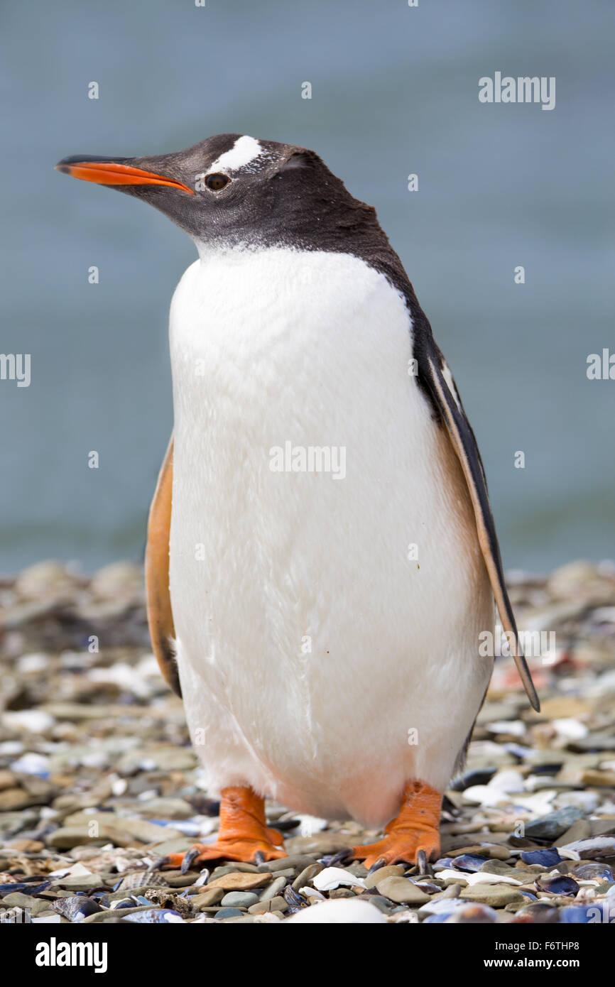 Gentoo pingouin sur plage de galets. Îles Falkland Photo Stock