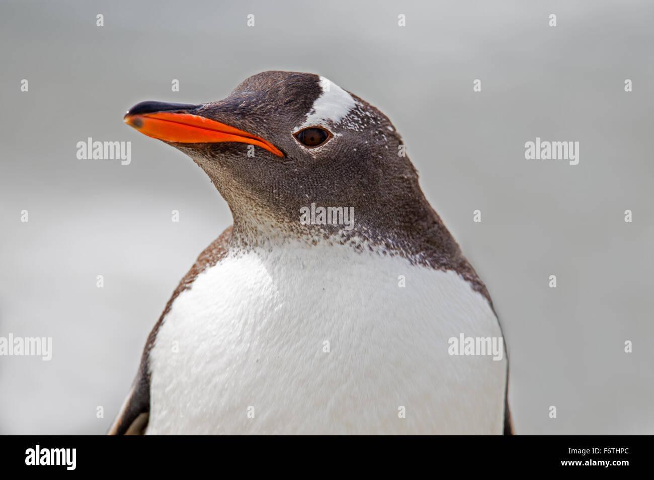 Gentoo pingouin portrait close up. Îles Falkland Photo Stock