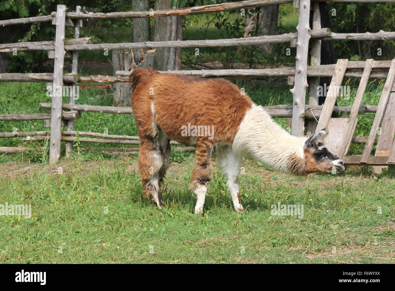 Llama sur une petite ferme d'agrément. Le Lama est une de camélidés sud-américains, a été Photo Stock