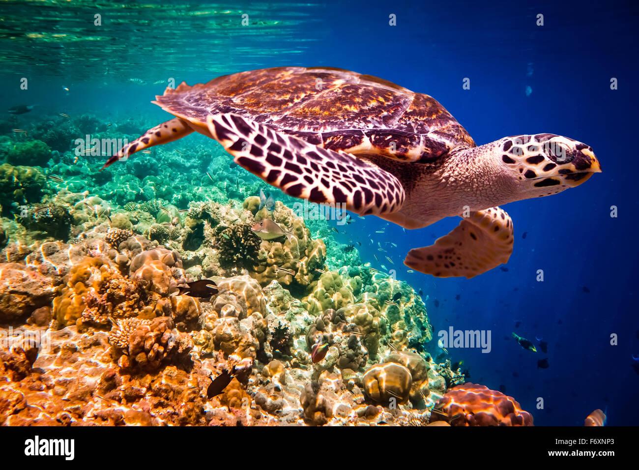 - La tortue imbriquée Eretmochelys imbricata flotte sous l'eau. Les récifs coralliens de l'océan Photo Stock