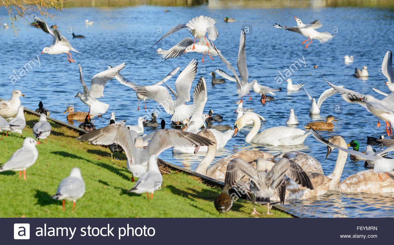 Les oiseaux, les canards et les cygnes se nourrissant dans un lac dans le West Sussex, Angleterre, Royaume-Uni. Photo Stock