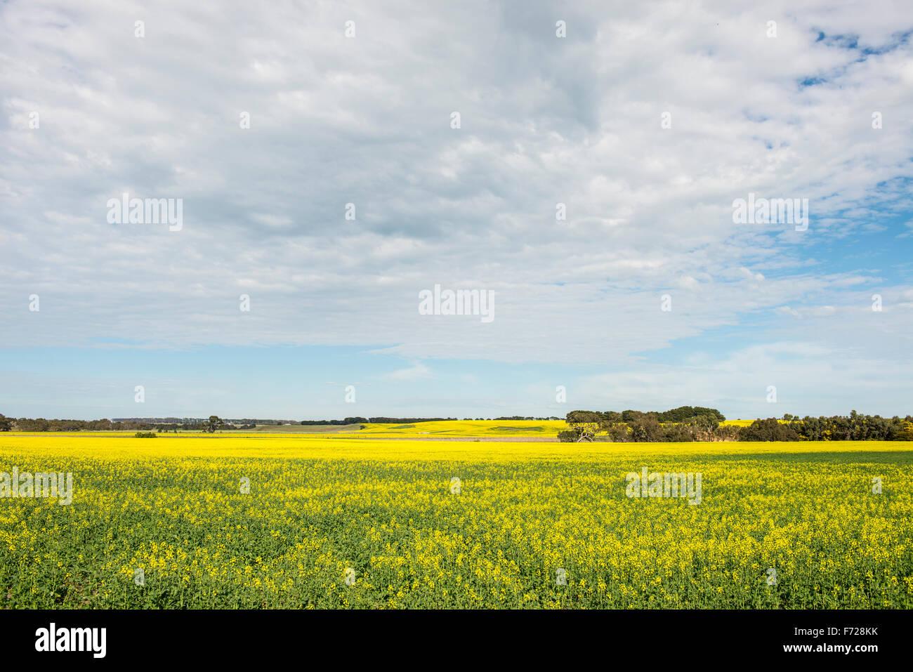 La récolte de canola à Victoria, Australie Photo Stock