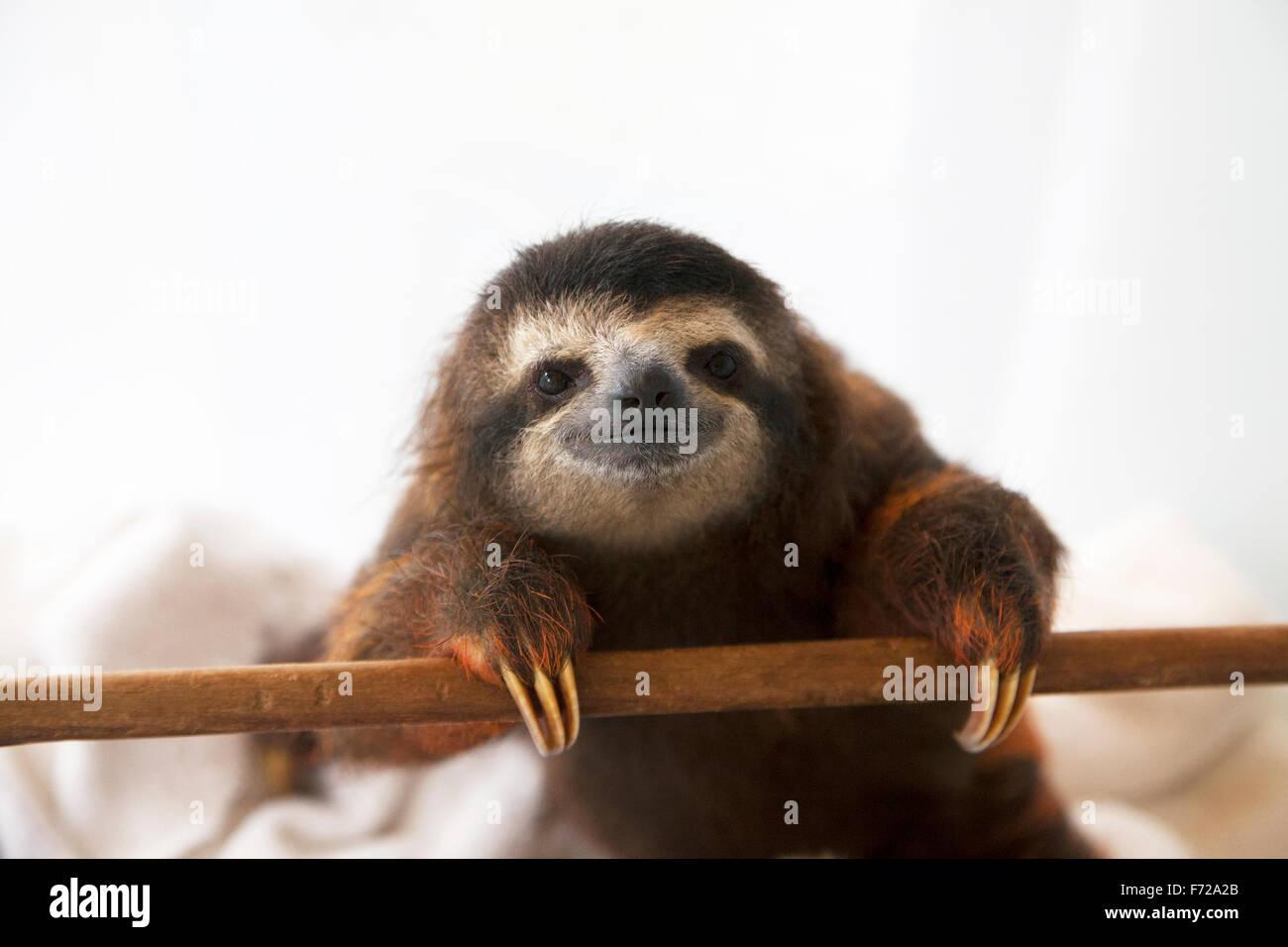 Baby brown-throated trois-toed sloth (Bradypus variegatus) pendant la lecture du temps dans une pépinière Photo Stock