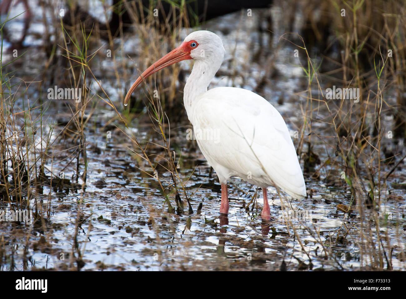Un Ibis blanc pataugeant dans la zone humide. Photo Stock