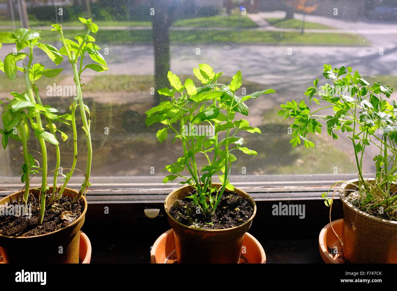 Faire Pousser Persil En Interieur basilic, menthe et persil pot plantes poussant à l'intérieur
