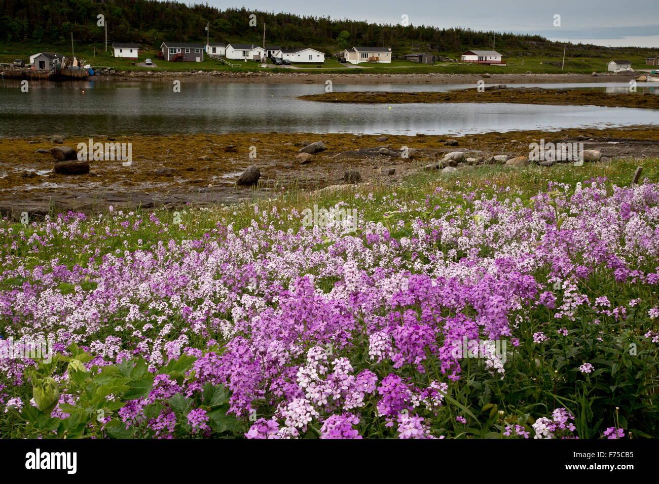 La Dame naturalisés Violet, en masse sur la côte à Port aux Choix, à Terre-Neuve. Photo Stock