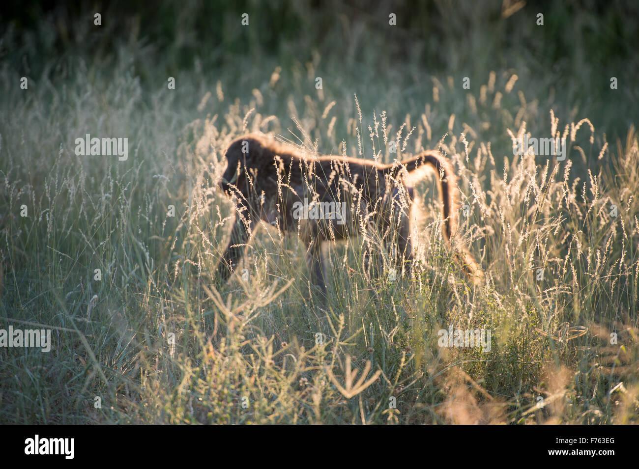 Afrique du Sud - Parc National Kruger babouin Chacma (Papio ursinus) Photo Stock