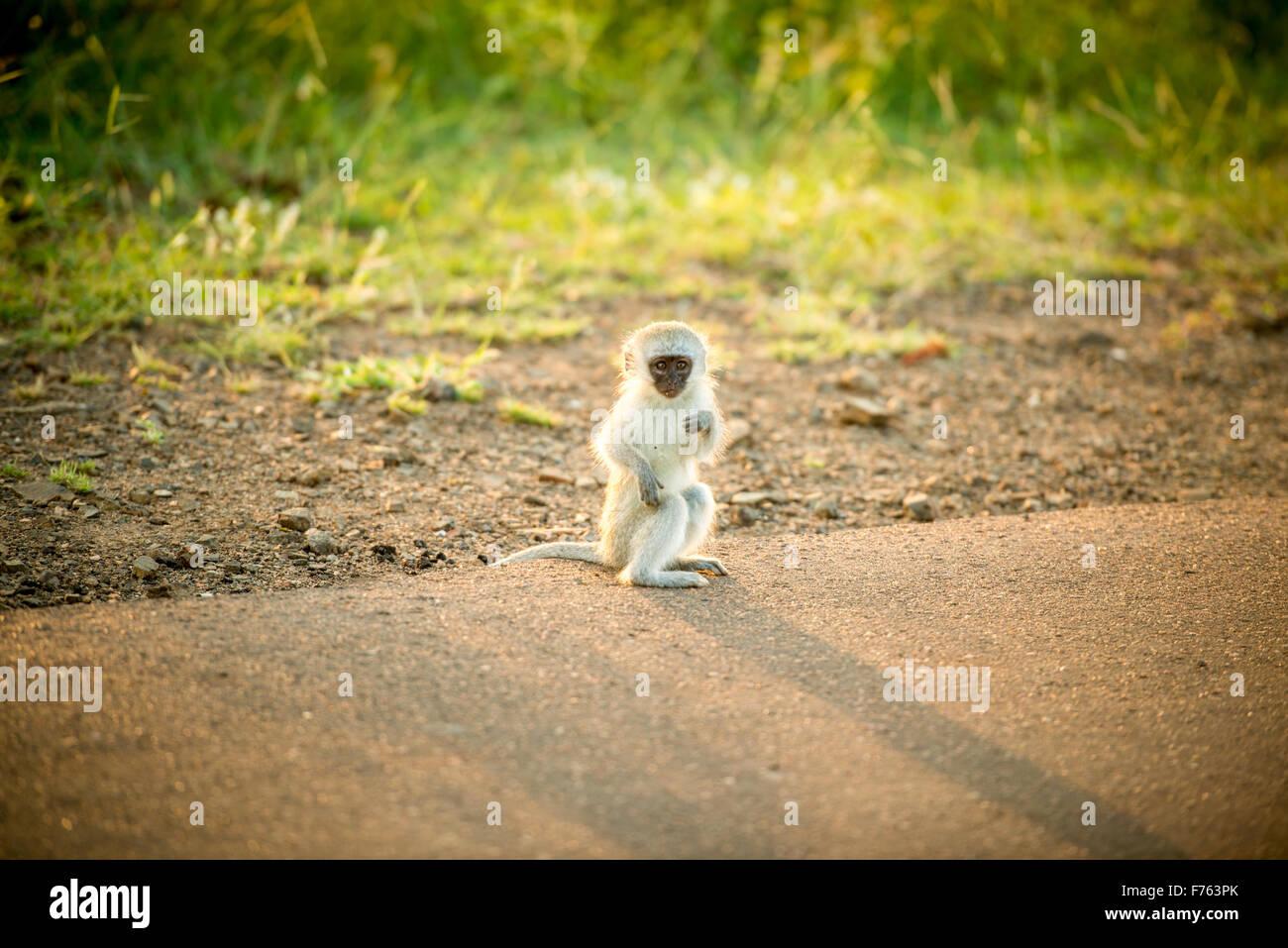 Afrique du Sud - Parc National Kruger et un singe (Chlorocebus pygerythrus) Photo Stock