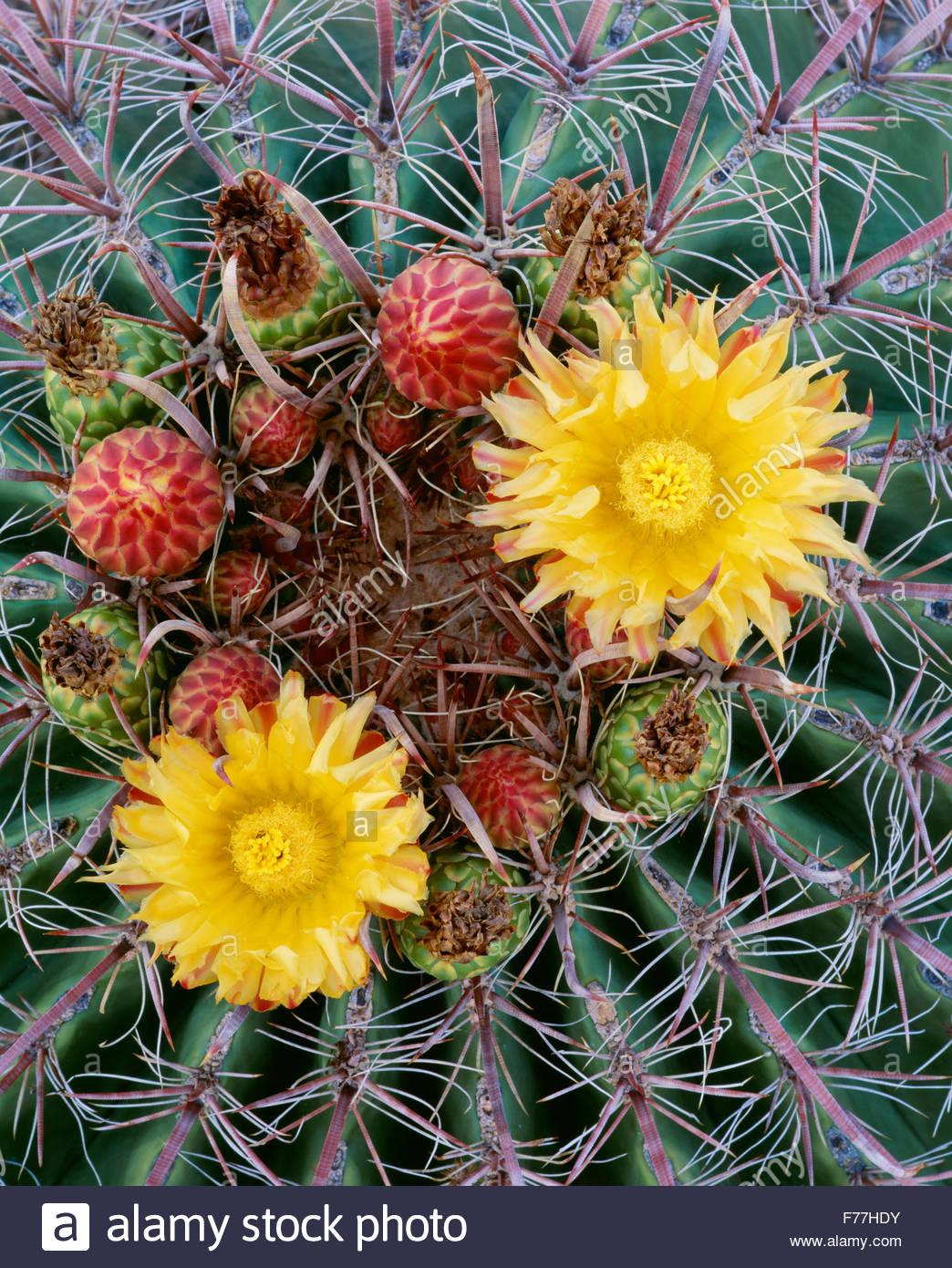 Fishhook cactus Ferocactus wislizenii [fourreau] Saguaro National Park. De l'Arizona. Banque D'Images