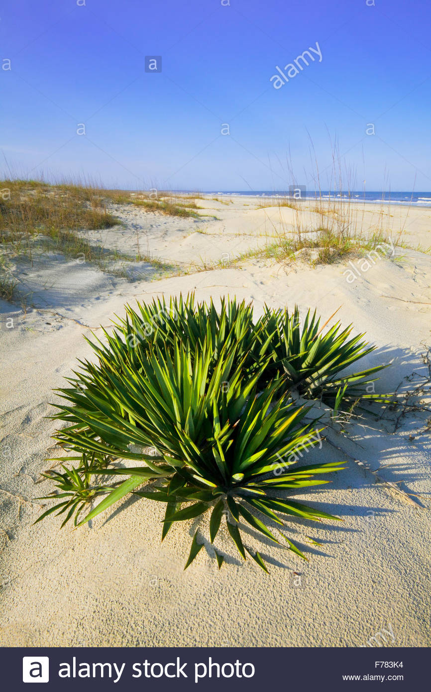 "Dague 'Spanish' [Yucca Gloriosa] dans 'Set dunes"" sur ""Cumberland Island' [Cumberland Photo Stock"