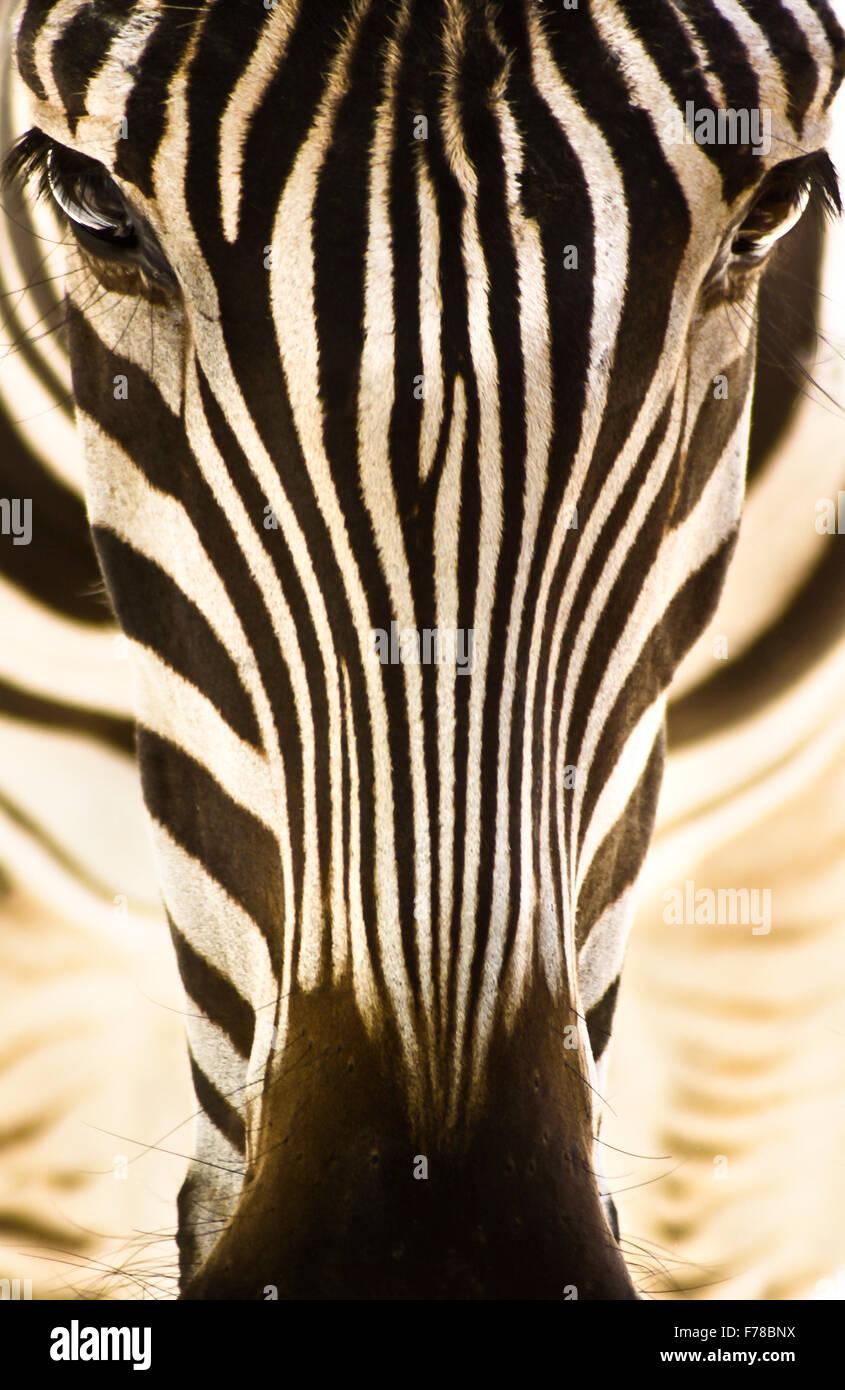 Portrait d'un zèbre. Photo Stock