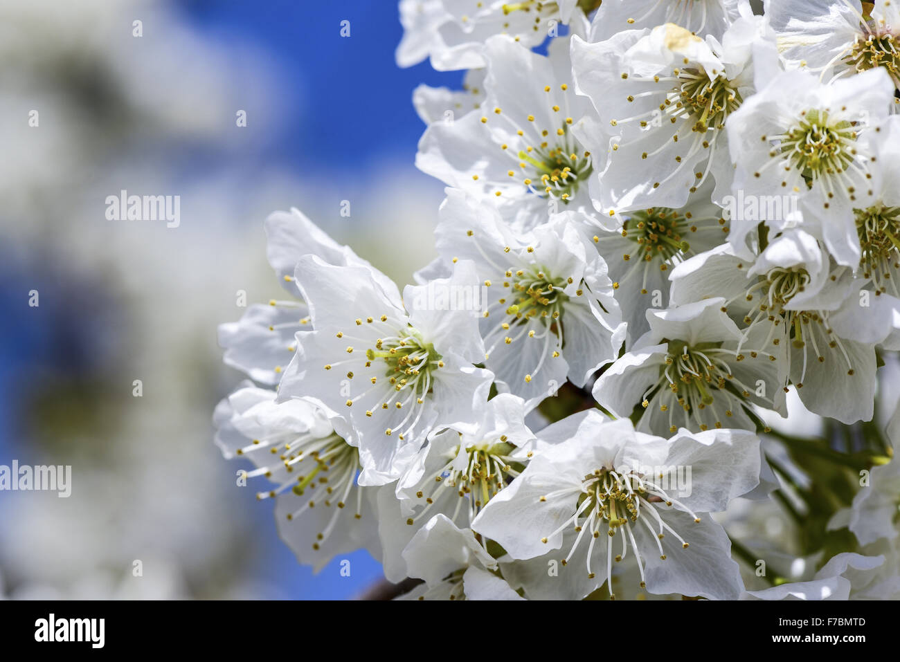 Fleur de cerisier, Pouilles, Italie Photo Stock