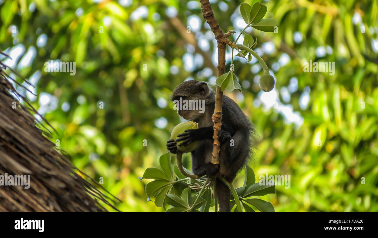 Little Blue Monkey eating fruit du baobab Photo Stock