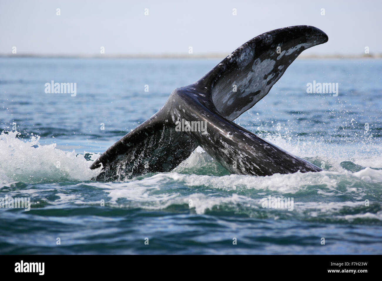 Pr0176-D. La baleine grise (Eschrichtius robustus) lob-tailing. La lagune de San Ignacio, Baja, au Mexique. Photo Photo Stock