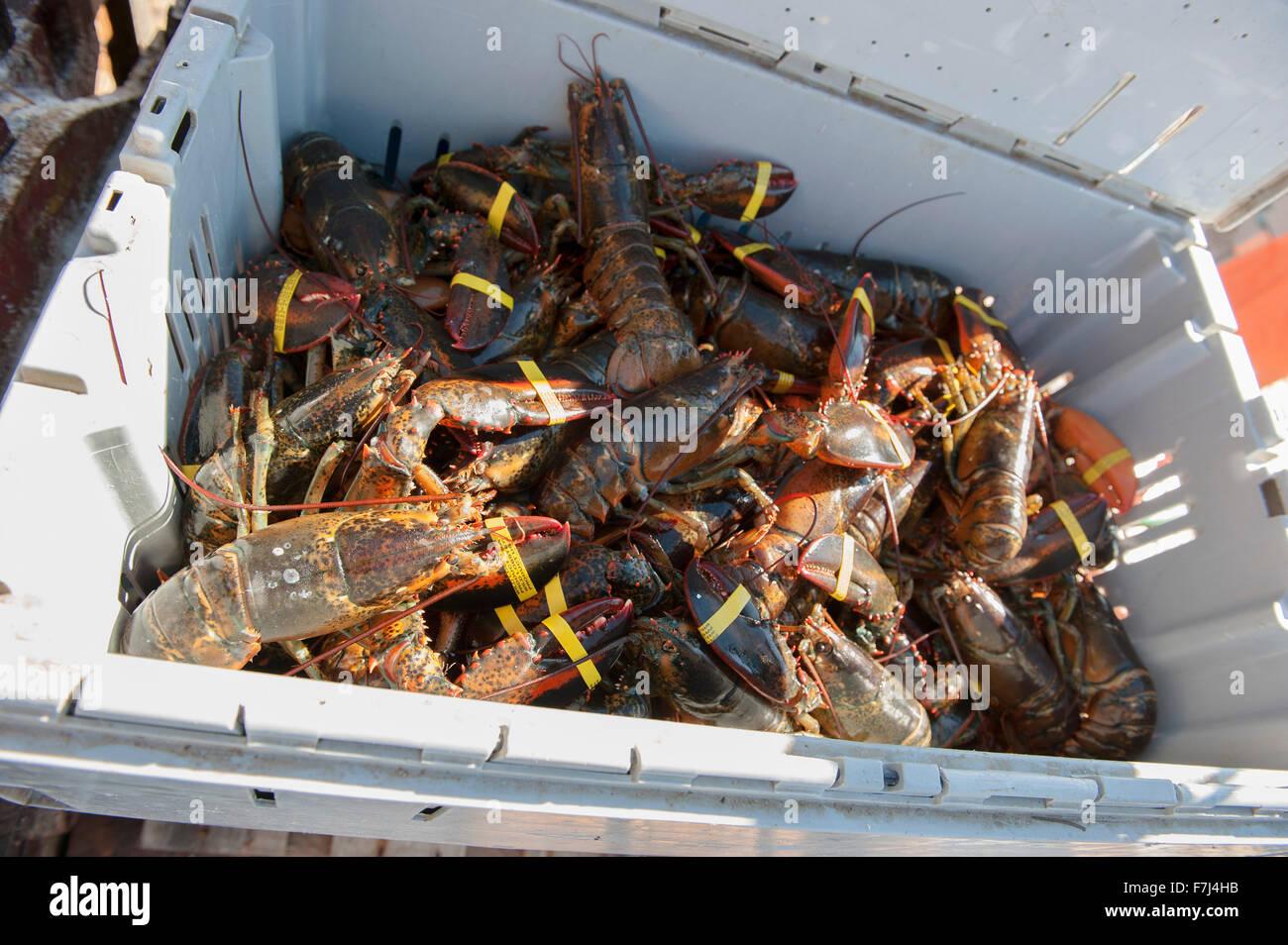 Les homards fraîchement pêchés dans le récipient Banque D'Images