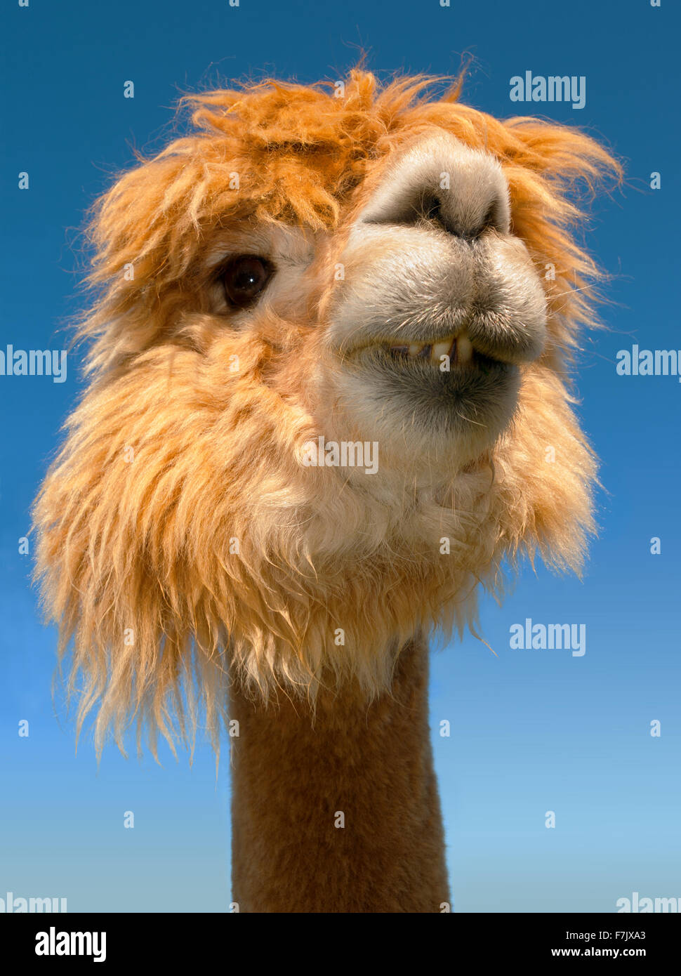 Lama Portrait Sur Ciel Bleu Animaux Droles Verticale Close Up Photo Stock Alamy