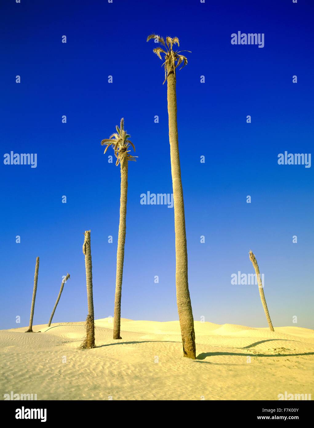 Palmiers morts à la grande dune. Le désert du Sahara. Sur les bords de la petite ville de Douz. Nefzaoua, Photo Stock