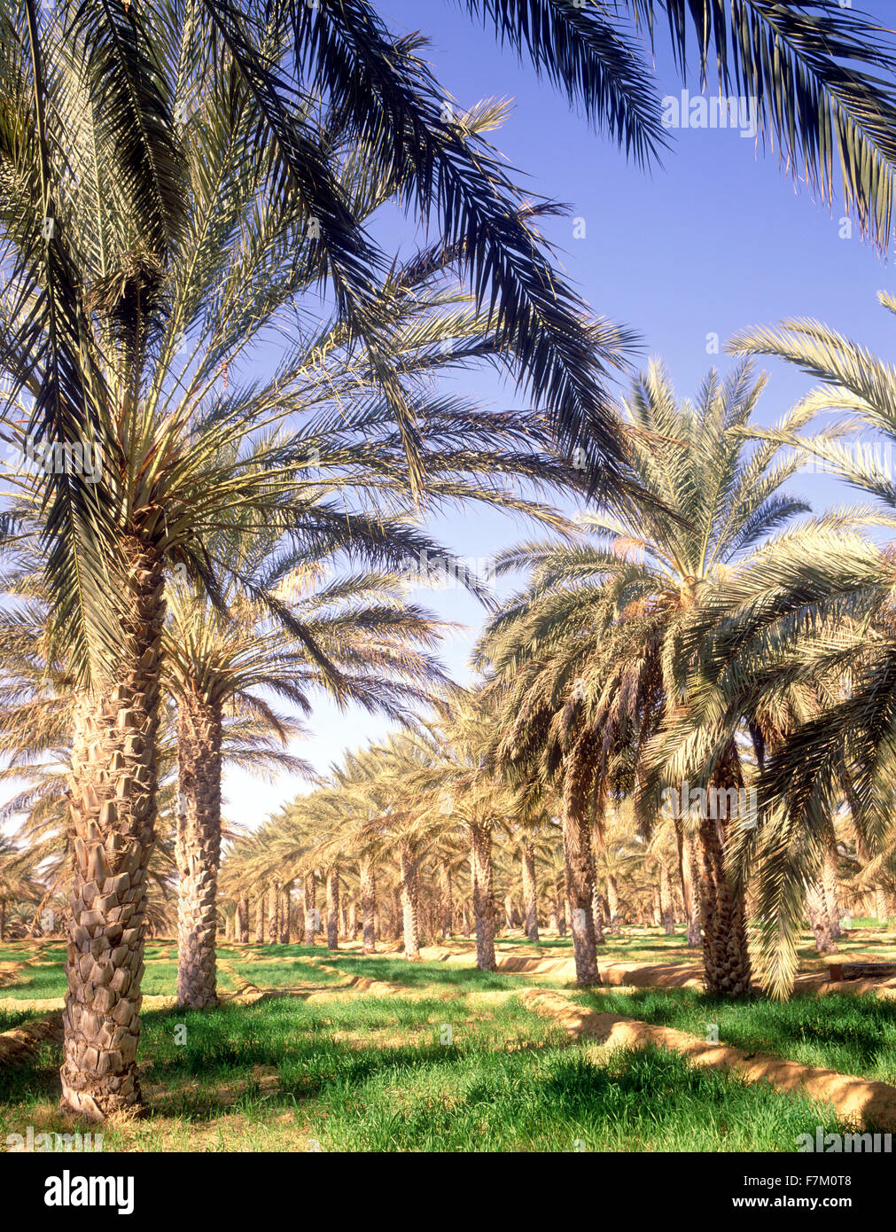La palmeraie de Tozeur. Tozeur, Tunisie. Photo Stock