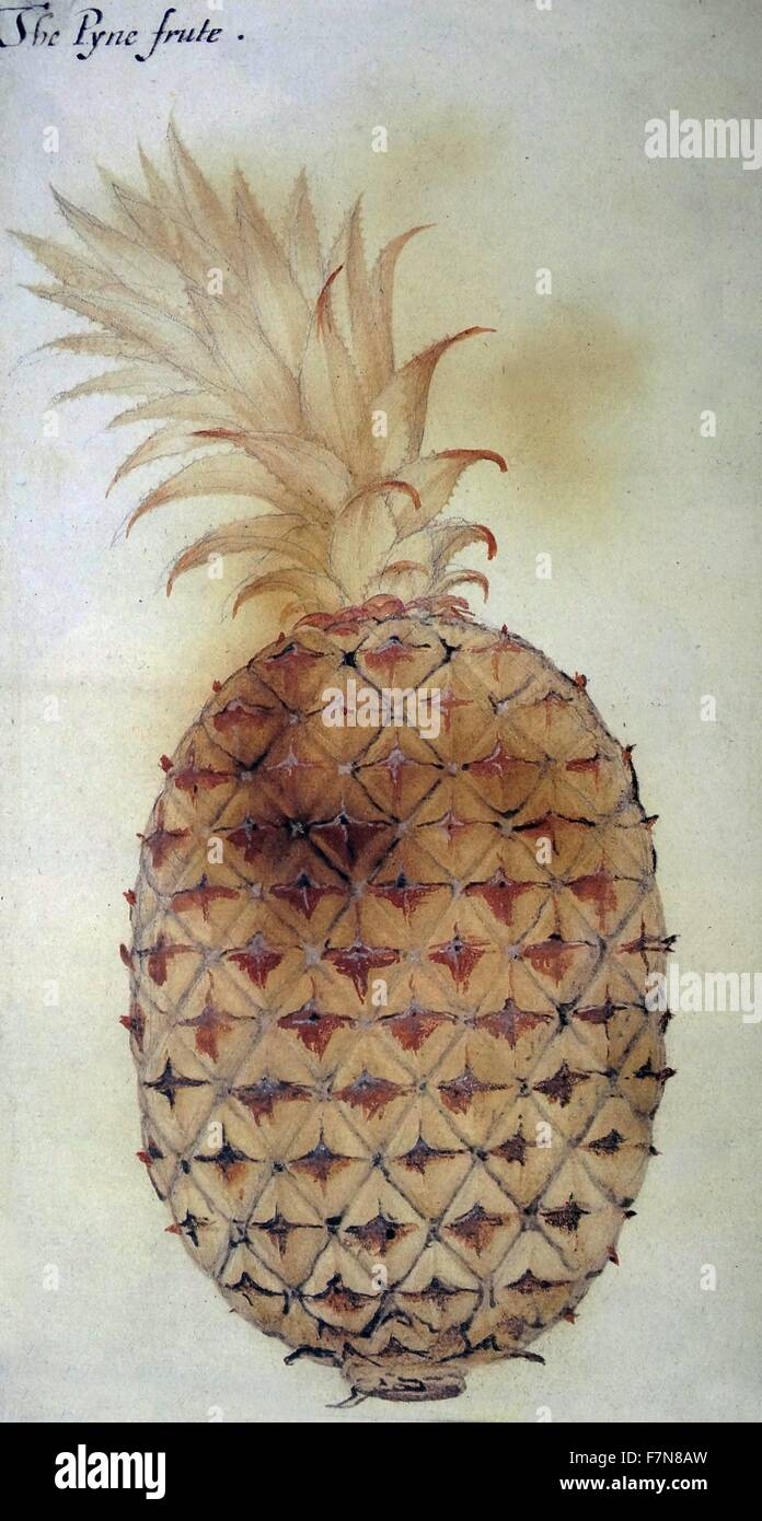 """La Pyne frute"", aquarelle de John White, vers 1585 Photo Stock"