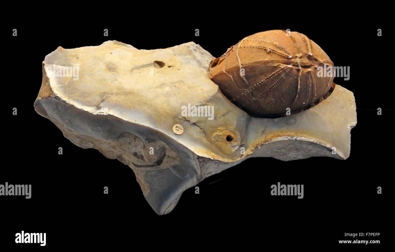 Impression d'une coquille d'oursin de mer, entouré de silex. Photo Stock