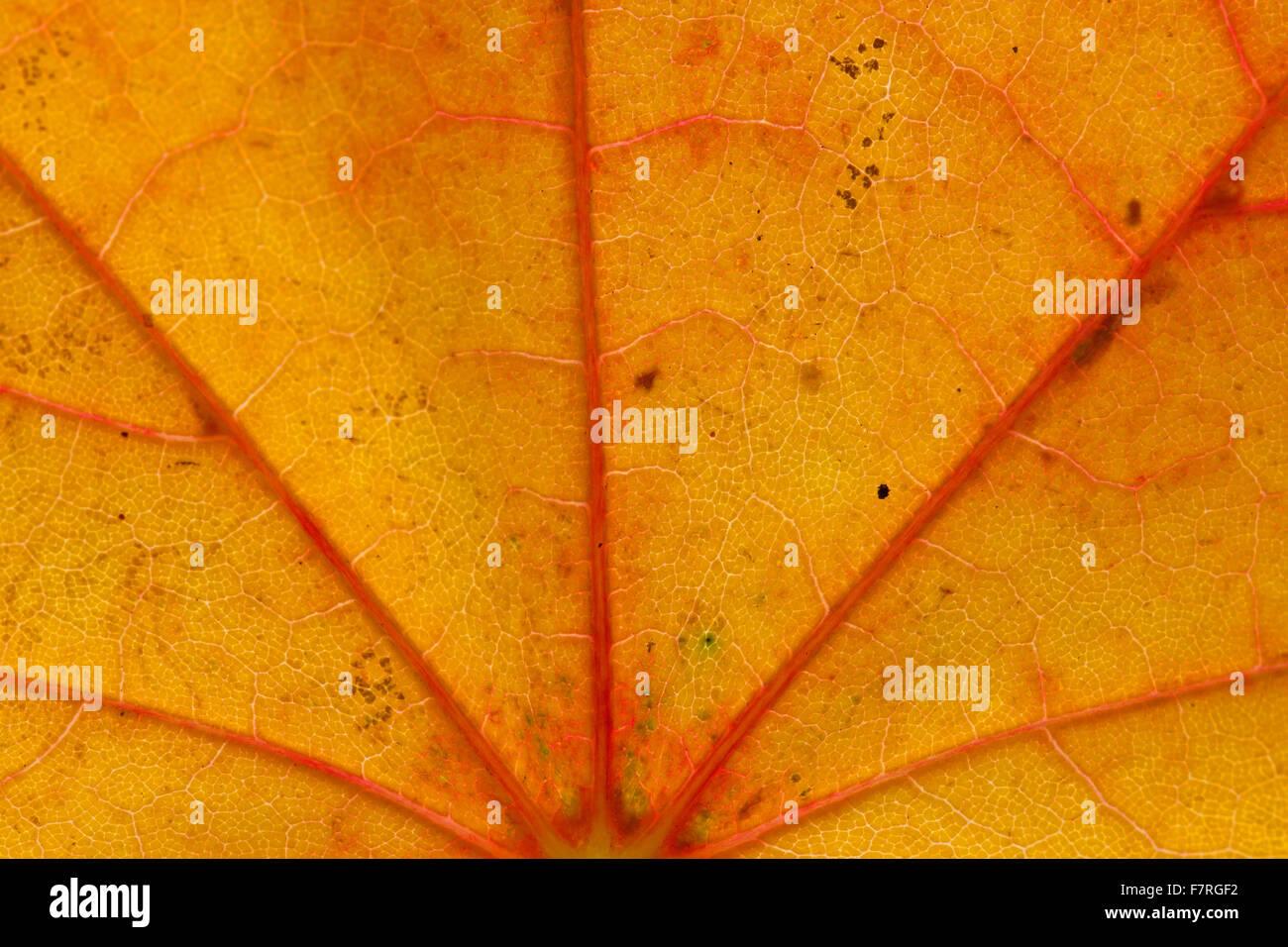 Érable de Norvège (Acer platanoides) close up of leaf orange en couleurs d'automne montrant veins Photo Stock