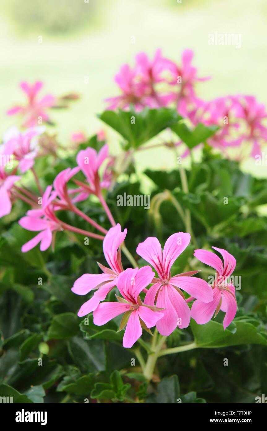 Le Geranium Est Une Belle Fleur Rose Ou Rouge Typique De L Italie