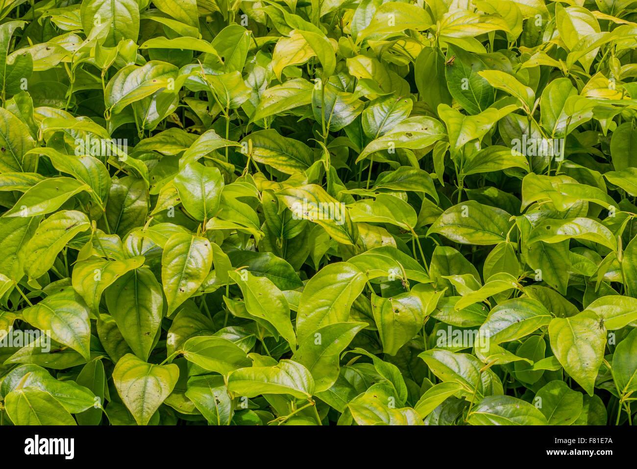 - Usine de Piper Piper calleux - plante médicinale, utilisée à la fois comme un léger stimulant Photo Stock