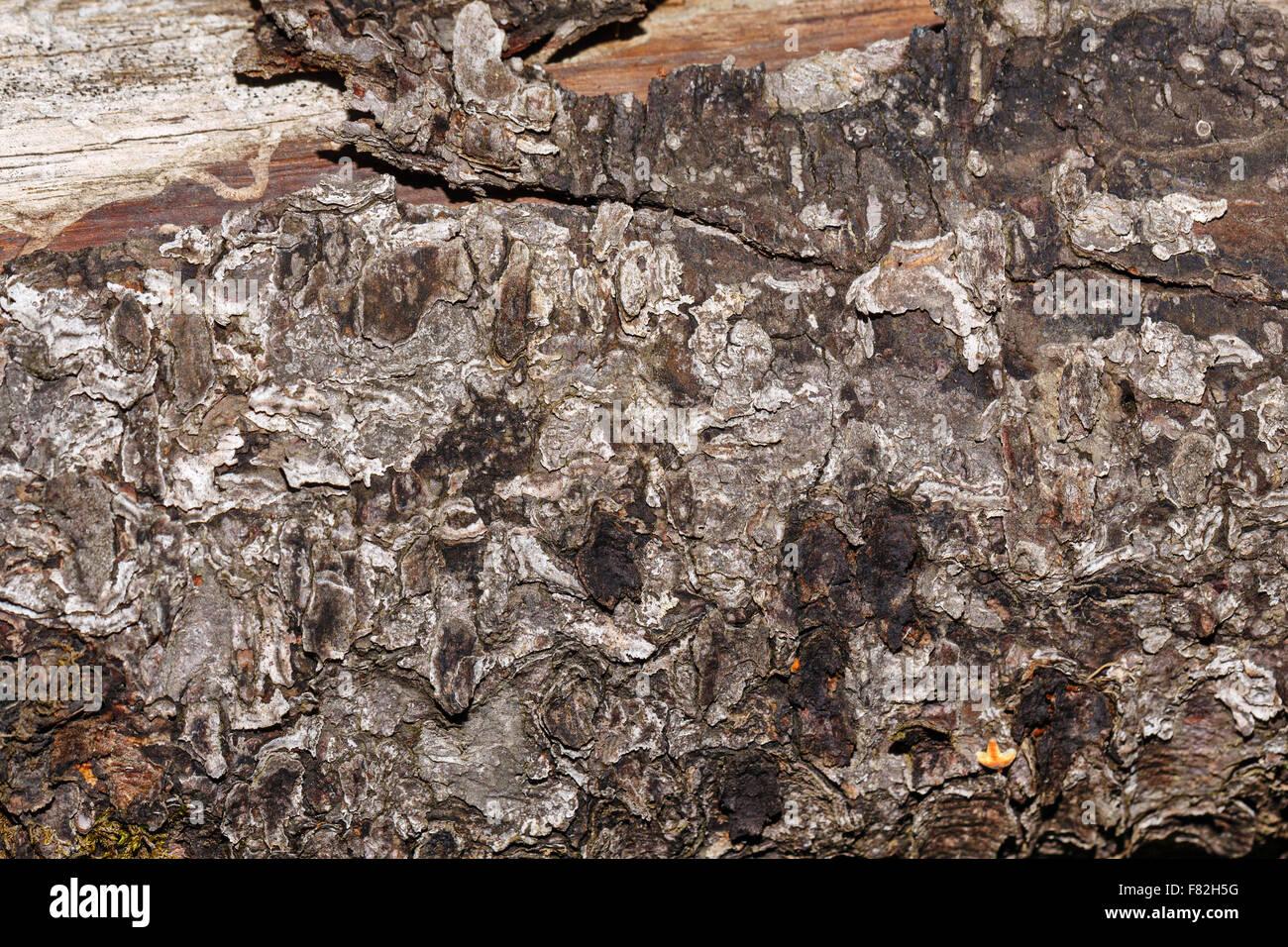 Écorce de pin le coffre arrière-plan. Arbre généalogique. Texture grunge. Banque D'Images
