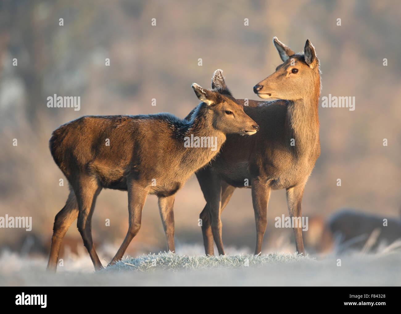 Red Deer hind avec un veau en hiver Photo Stock
