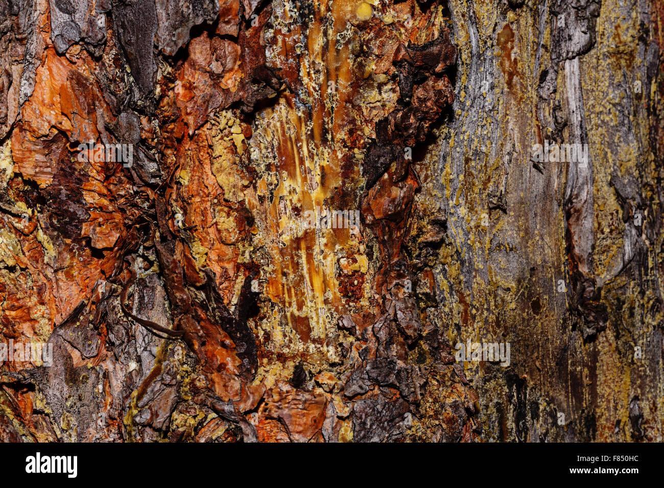 Arrière-plan de l'écorce de pin. Le bois non traité. Texture grunge. Banque D'Images